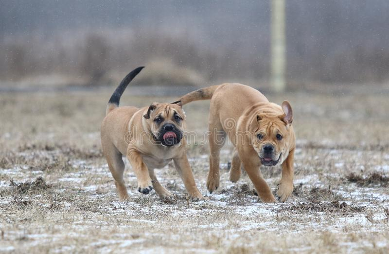 Ca de Bou Mallorquin Mastiff puppy dogs. Two brown three months old Ca de Bou Mallorquin Mastiff male puppy dogs playing outdoors stock photos