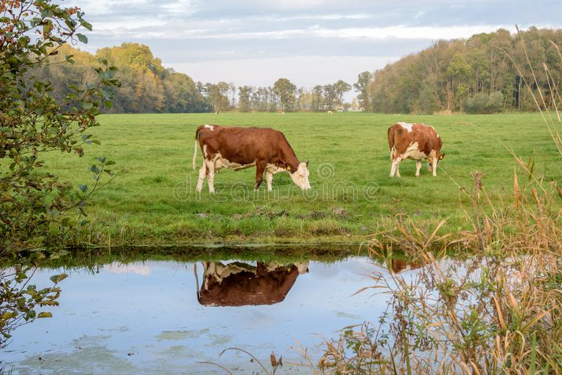 Cow grazing alongside a canal in a green meadow stock photo