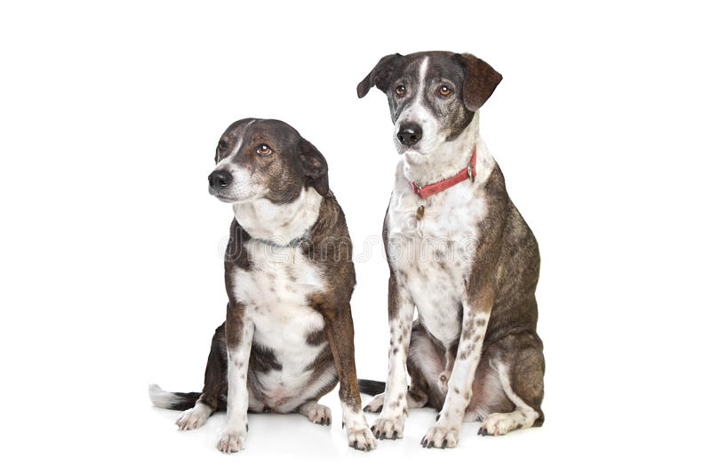 Download Two Brown And White Mixed Breed Dogs Stock Image - Image of brown, mutt: 22992153