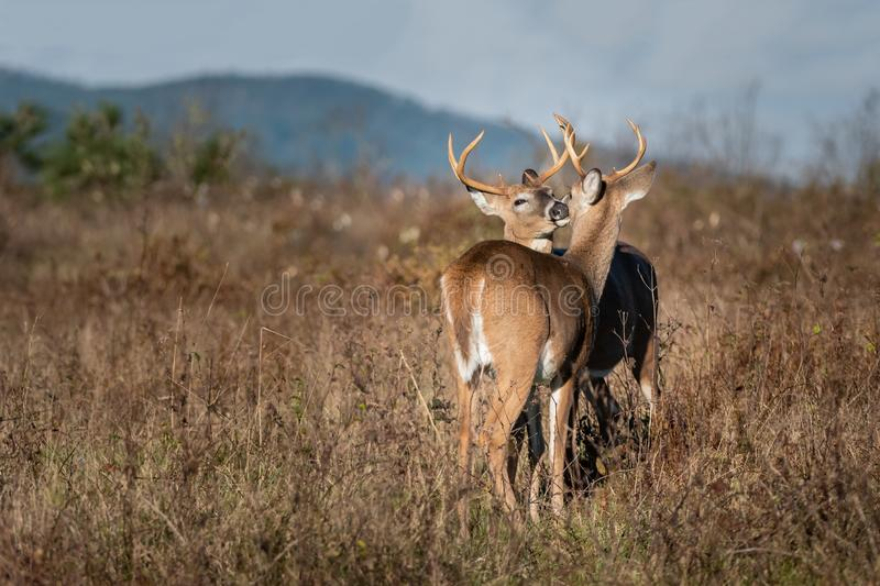 Two bucks grooming each other. Two bucks share a kiss while grooming in the meadow. A touching moment stock images