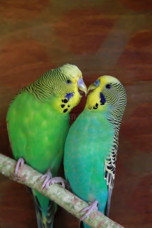 Two budgies kissing stock image