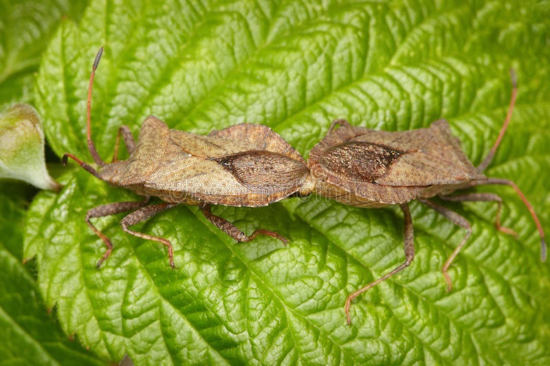 Download Two Bugs Copulating On Leaf Stock Image - Image: 16552239