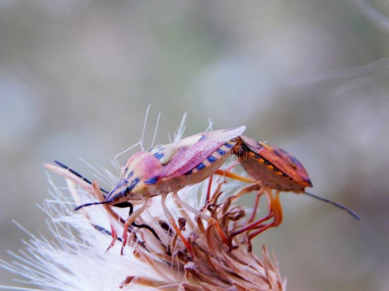 Two bugs on fragile needle-like petals stock photo