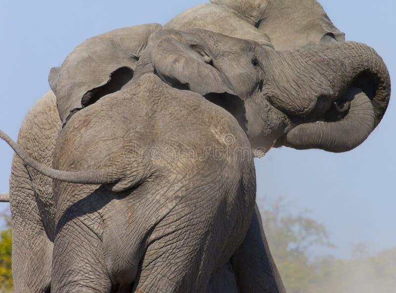 Two Bull Elephants Fighting - Botswana royalty free stock photos