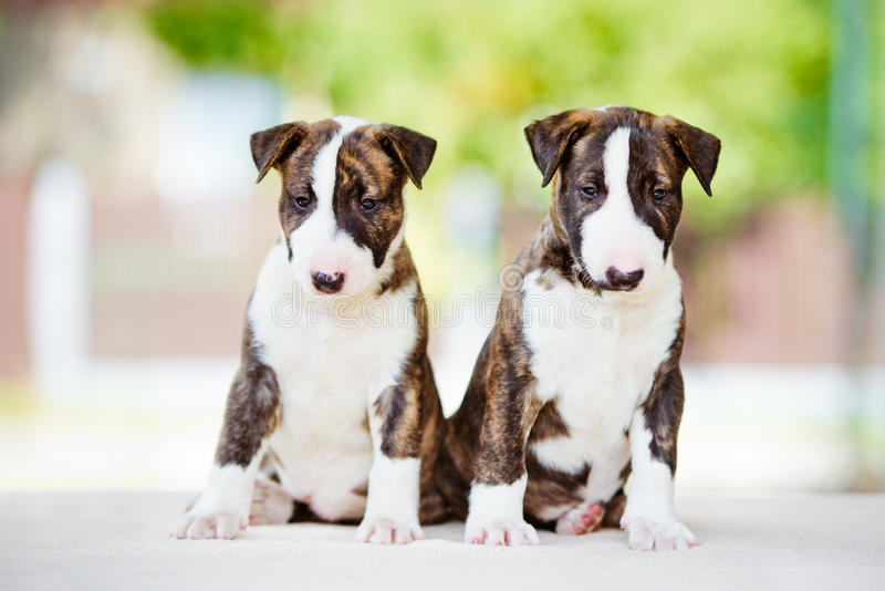 Two bull terrier puppies with flowers stock photo