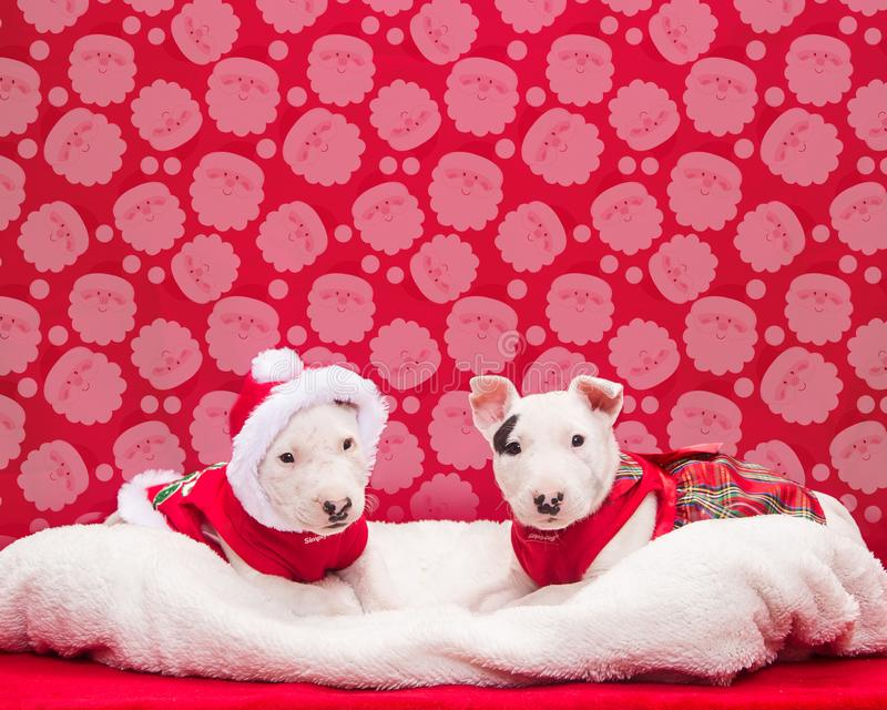 Bull terrier puppies sitting for their Christmas photo royalty free stock photos
