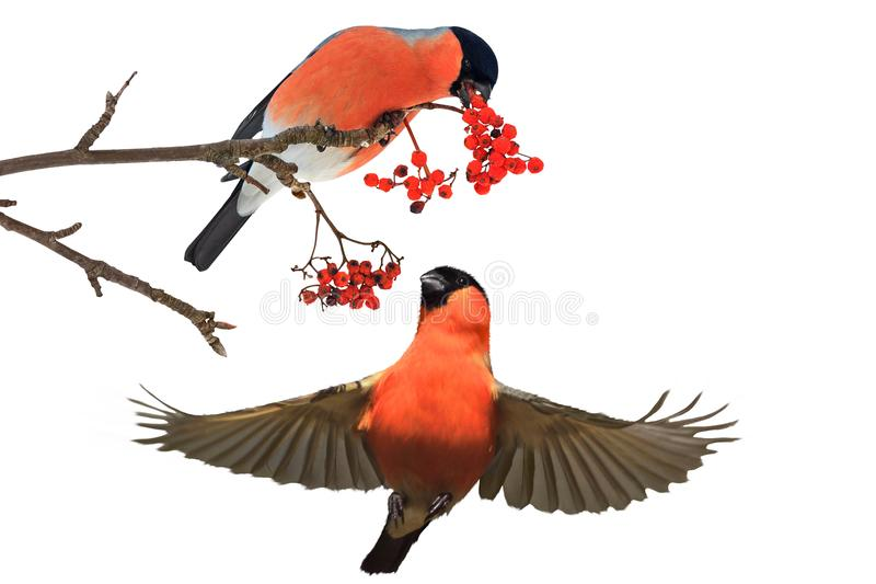 Two bullfinch eating red berries. Winter holidays, birds and creativity royalty free stock photos