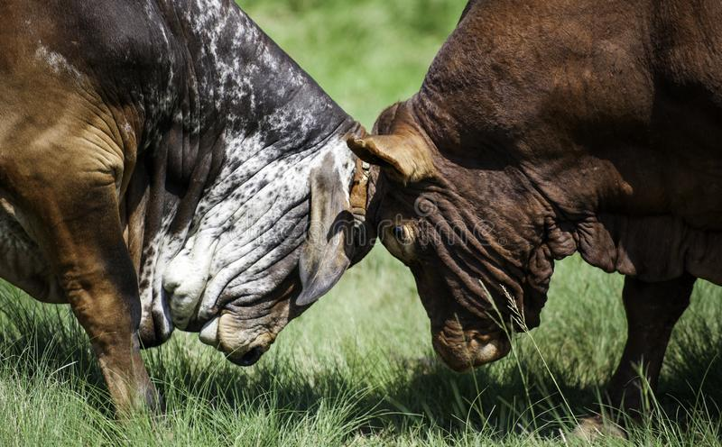Two bulls fighting or battle for dominance. Head to head, Herefords royalty free stock images