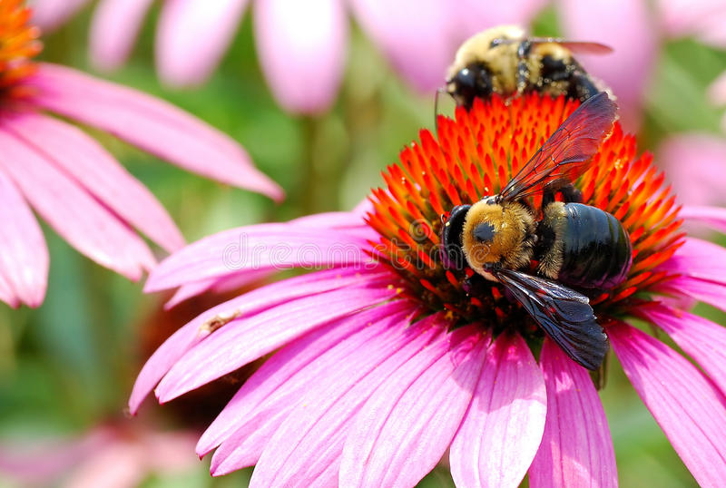 Two Bumble Bees Hard at Work Harvesting Pollen From a Large Echinacea Flower royalty free stock photos