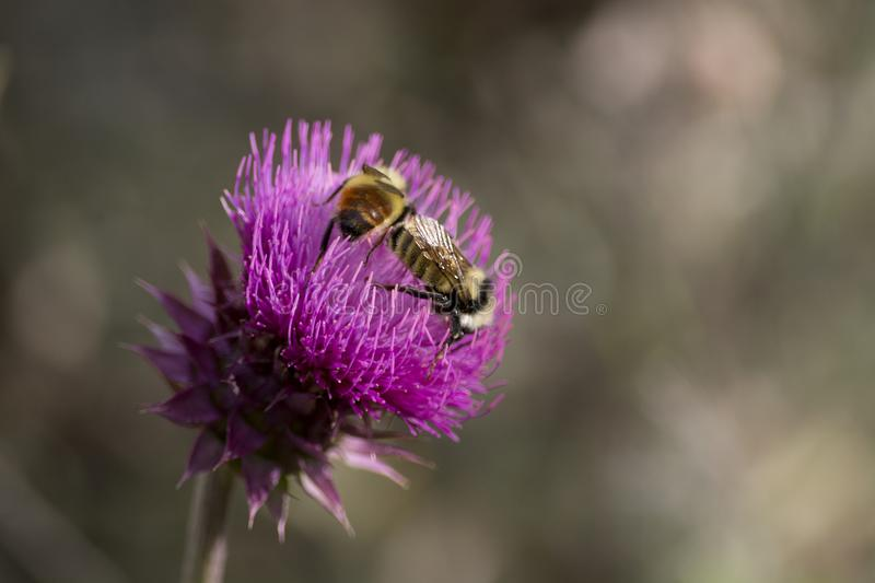 Two Bumblebees on a Purple Thistle Flower in Utah Mountains. Two bumblebees in a closeup photo of purple thistle flower gathering pollen royalty free stock image