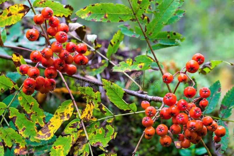 Two bundle of a wild ripe mountain ash. Two bundle of berries of a wild ripe red mountain ash closeup in the foreground stock photography