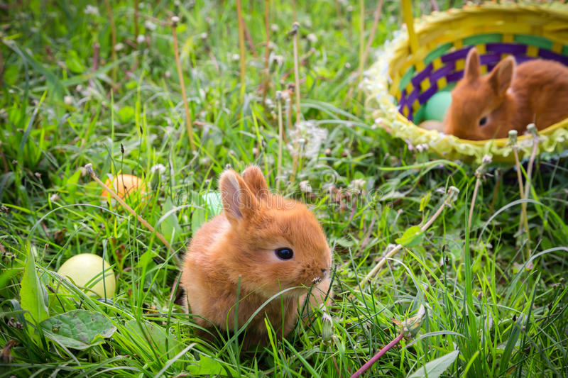 Two bunnies on green meadow with colorful easter eggs royalty free stock image