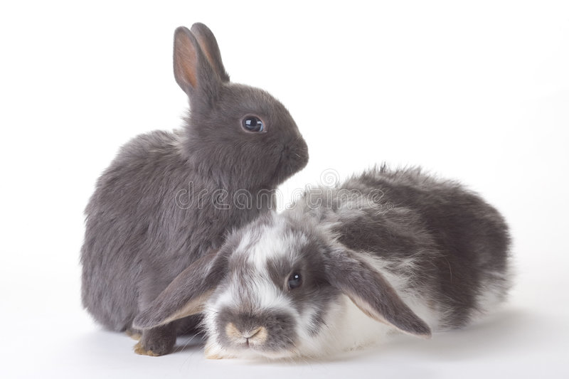 Download Two bunny, isolated stock photo. Image of breeding, farm - 8637878