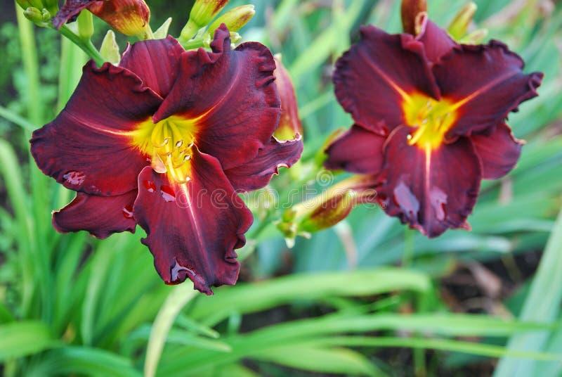 Two burgundy red daylily flowers. Ed Murray breed. Two burgundy red daylily flowers in garden after rain. Ed Murray breed stock photo