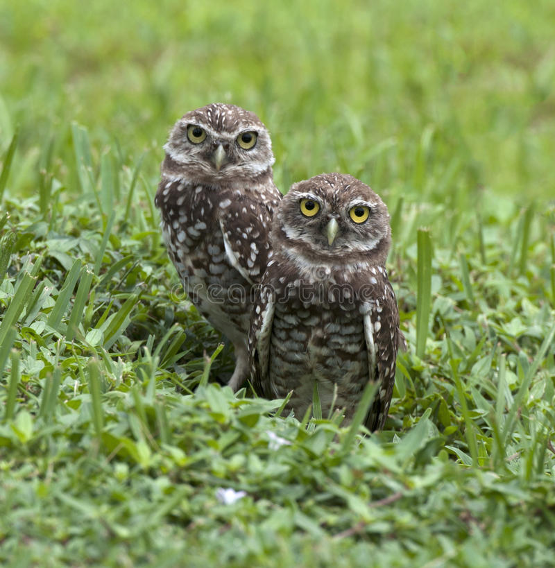 Two Burrowing Owls Emerging from Nest stock image
