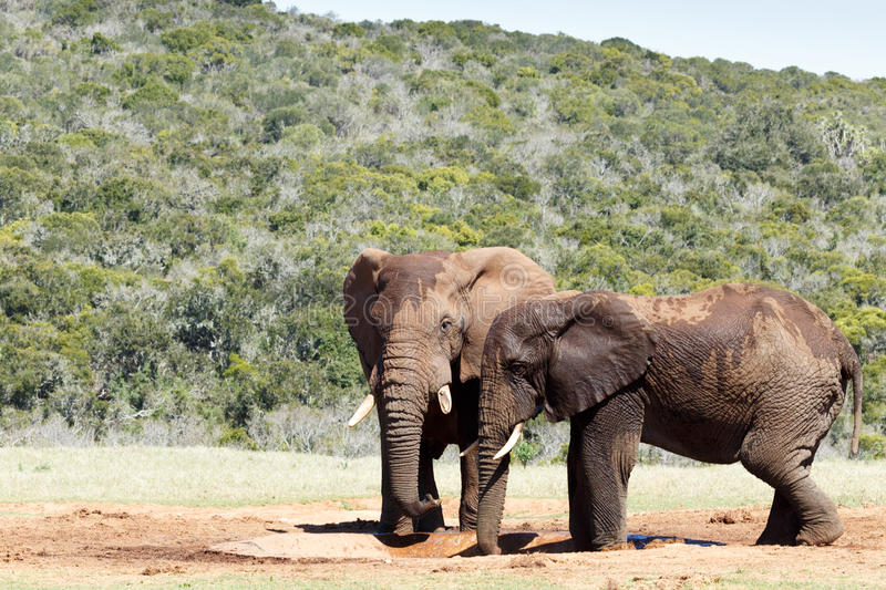 Two Bush Elephants drinking water stock images