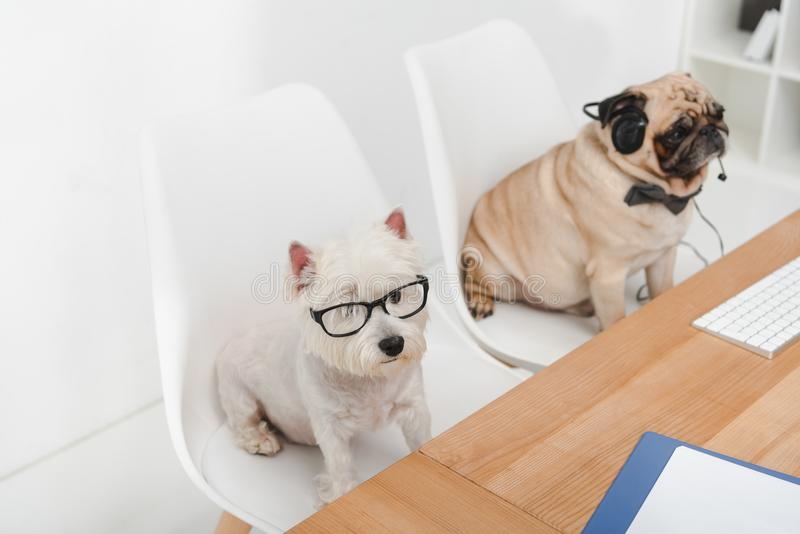 Business dogs at workplace royalty free stock photos