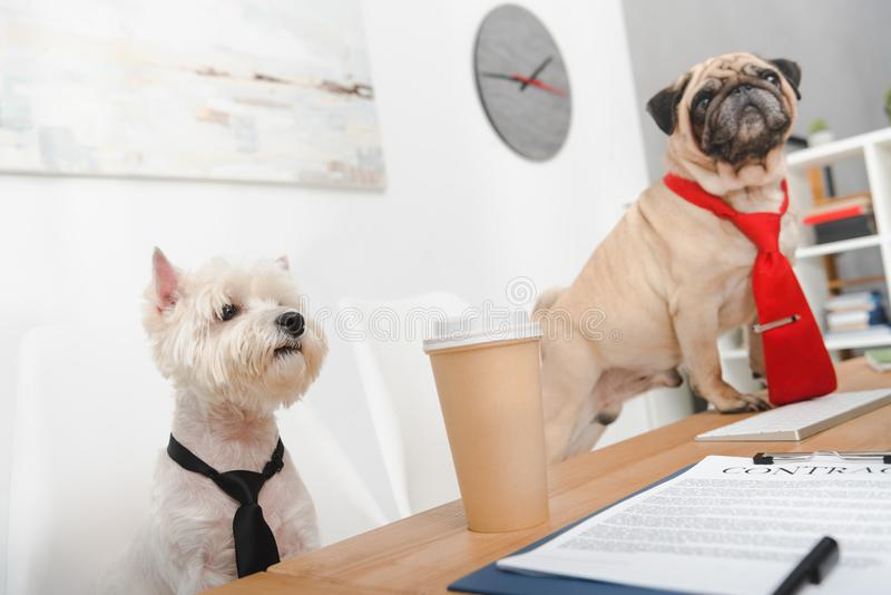 Business dogs in office stock photos