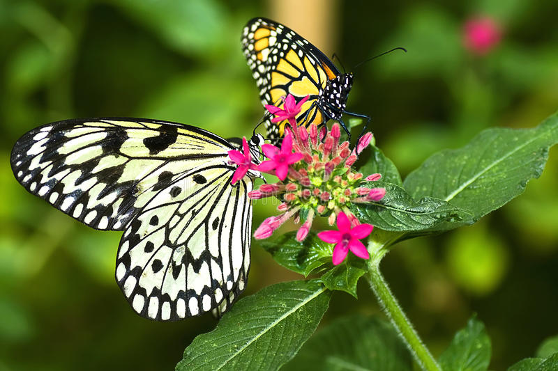 Two Butterflies. Sharing a flower royalty free stock image