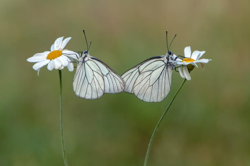 two butterflies Aporia crataegi butterflyrus sits on a daisy flower stock photo