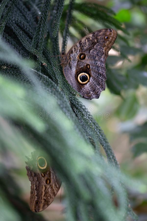 Two Beautiful butterflies rest on a coniferous tree. Two butterflies create the appearance of reflection on a cool green coniferous tree royalty free stock images