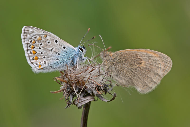 Two butterflies face to face. stock images
