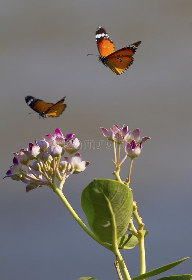 Two Butterflies and Flowers. Two butterflies flying or hovering over wild flowers royalty free stock photography
