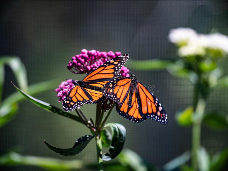 Two Butterflies Getting Some Sun on a Flower. royalty free stock images