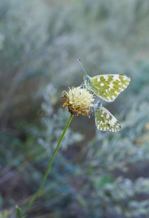 Download Two Butterflies Stock Image - Image: 34277831