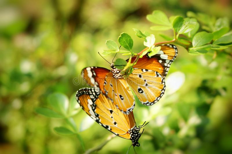 Two butterflies Mating on the top of the tree royalty free stock image