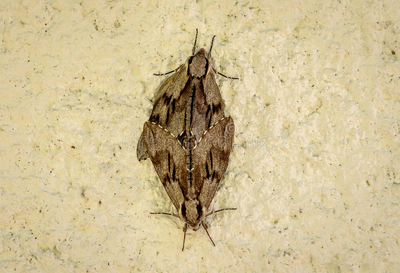 Two butterflies or moths mate on concrete wall background. Insects are having sex on a house wall - animal reproduction royalty free stock image