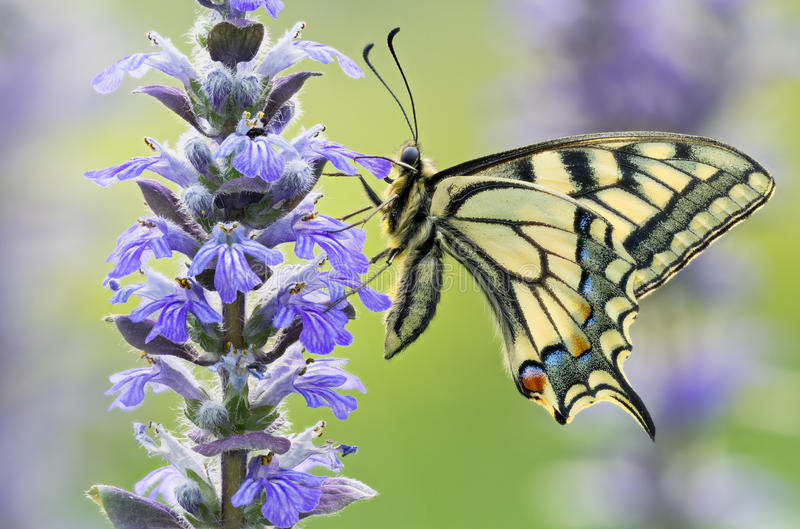 Beautiful machaon butterfly in wild nature on violet flowers.  stock images