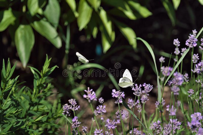 two butterflies over lavender flowers royalty free stock photography