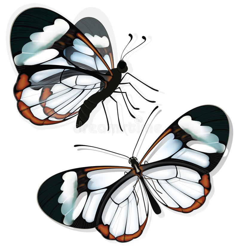 Two butterflies with transparent wings. vector illustration