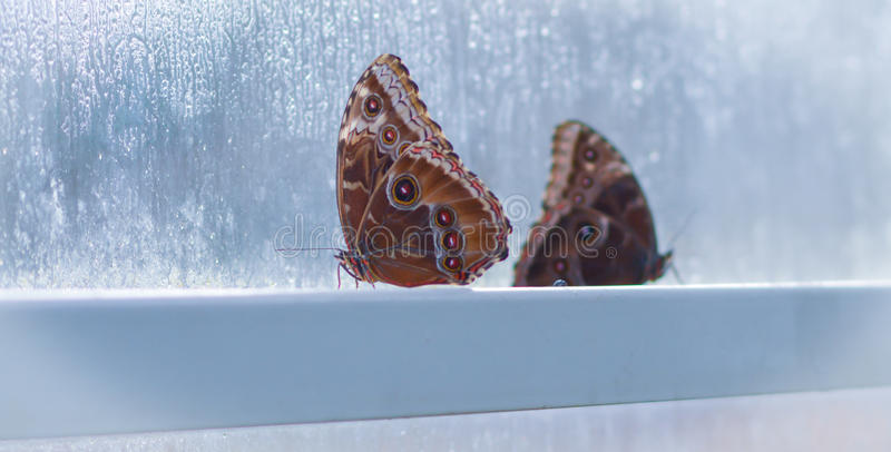 Two butterflies in window. A picture of two tropical butterflies in a tropical greenhouse against a cold frosty window ledge stock photography