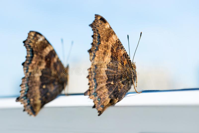 Two butterflies yellow legged tortoiseshell sits on window royalty free stock images