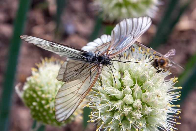 Two butterfly Aporia crataegi, the black-veined white are mating on onion flower. Selective focus stock image