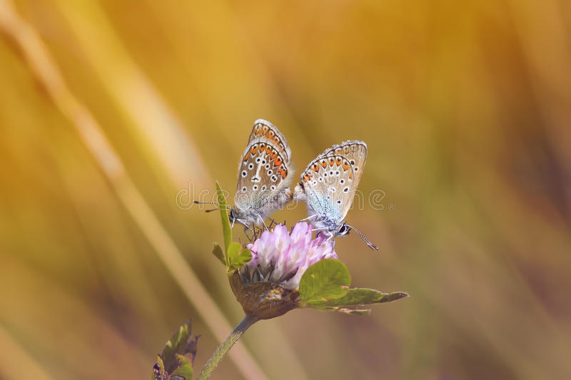 Two butterfly sitting on a flower clover on a Sunny summer day stock images