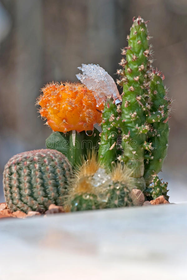Free Two Cactus&x27;s In A Pot With Melting Snow On Them  Royalty Free Stock Photos - 15227578