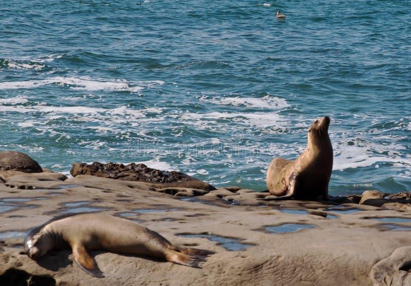 Two California Sea Lions stock image
