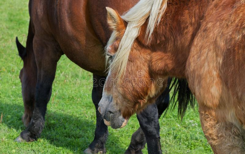 Two calm horses. On a field stock photos