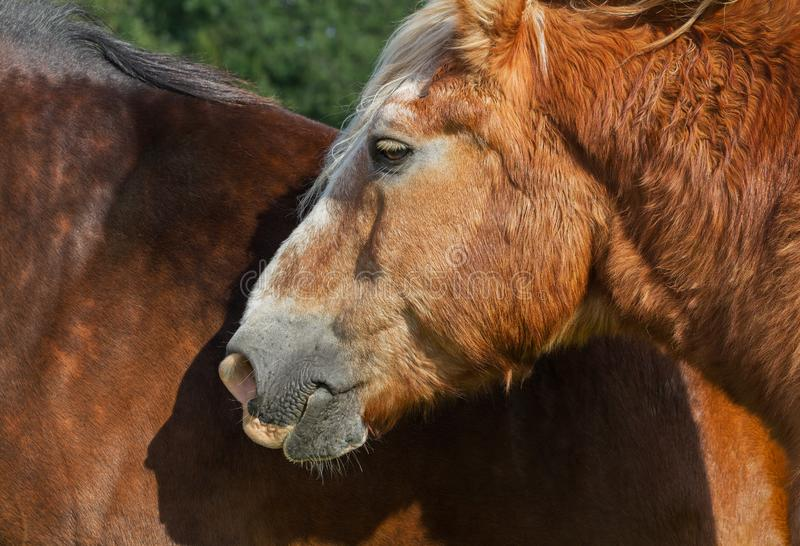 Two calm horses. On a field stock photo