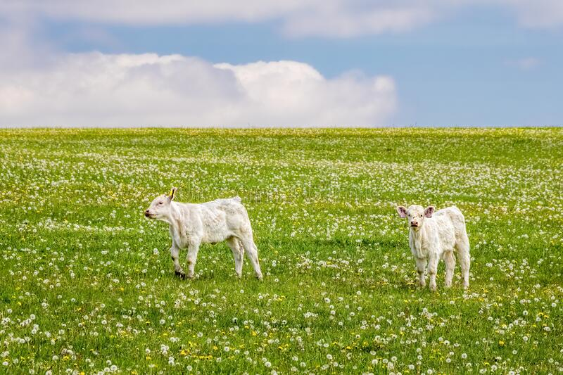 Two calves on green pasture under blue sky with clouds stock photography