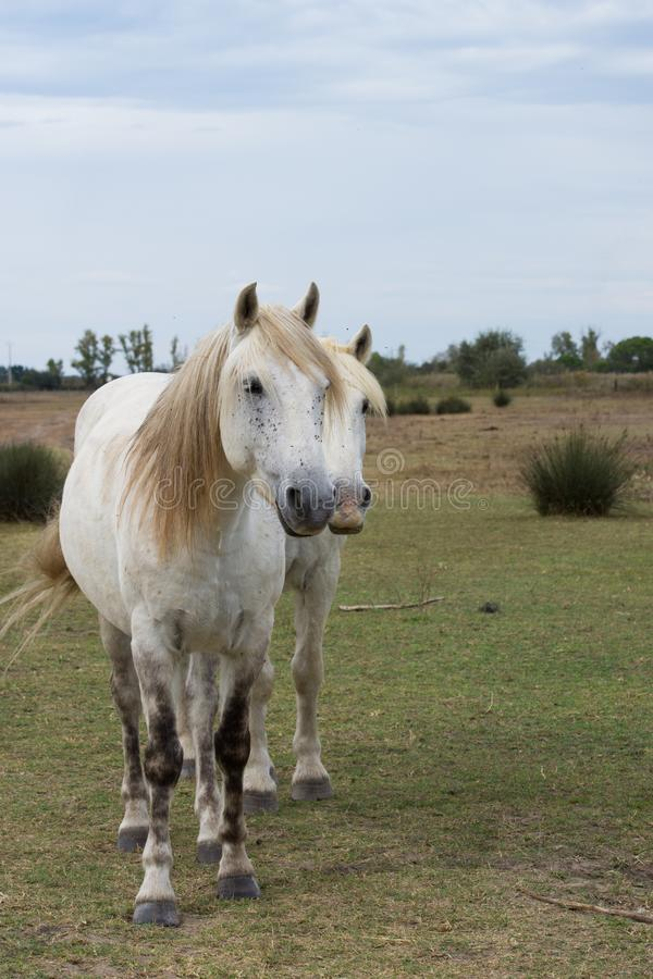 Two White Horses Facing the Camera royalty free stock image