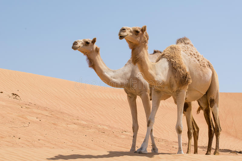 Two camels in the Arabian desert. Two camels side by side across sand dunes, in the Arabian desert royalty free stock images