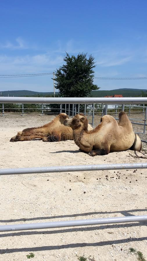 Two camels. stock images