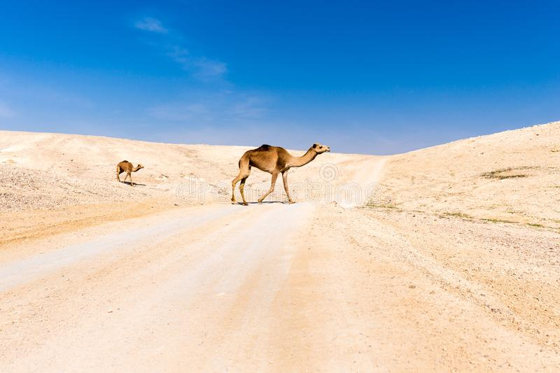 Two camels crossing desert road pasturing, Dead sea, Israel. Two camels crossing desert road pasturing Judaean desert Dead sea, Israel stock image