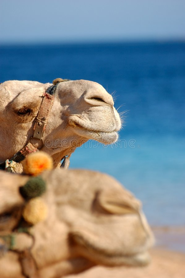 Two camels face royalty free stock photo