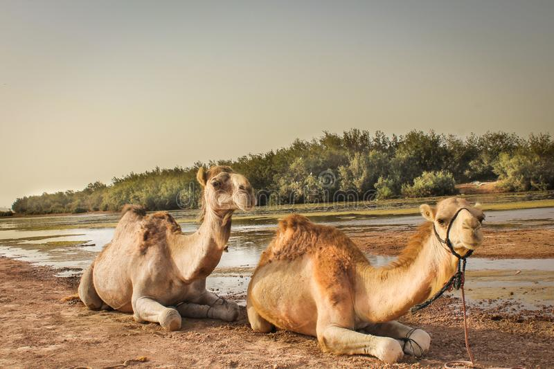 Two camels relax in the desert wildlife royalty free stock images