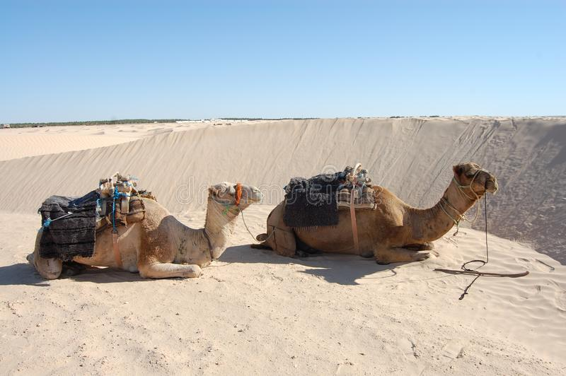 Two camels are sitting on the sand in the desert. By day royalty free stock photos